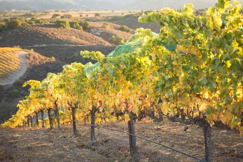 Demetria's vineyards