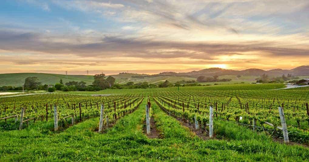 Justin Winery's vineyards