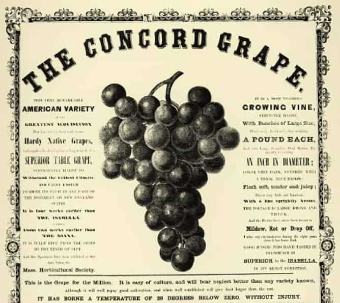 Advertisement for Concord Grapes