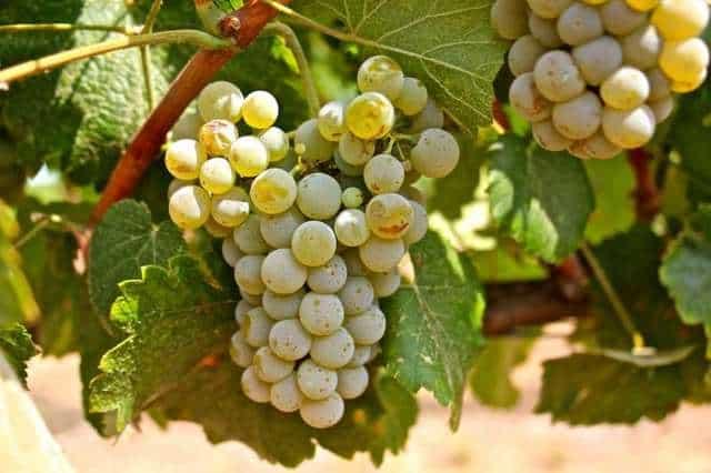 Albarino Grape