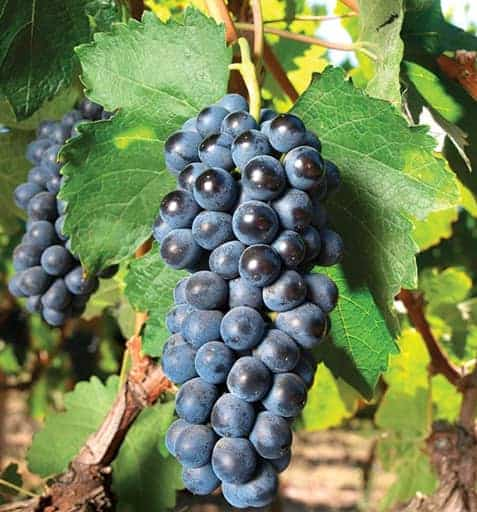 Concord Grapes Variety