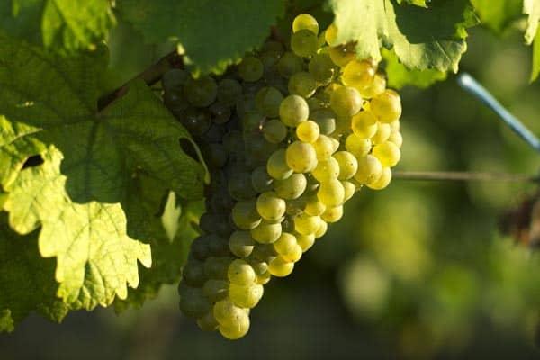 Gruner Veltliner Grape