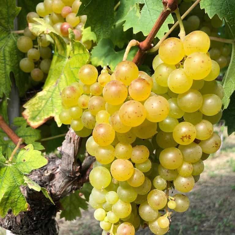 Moscato Bianco Grapes
