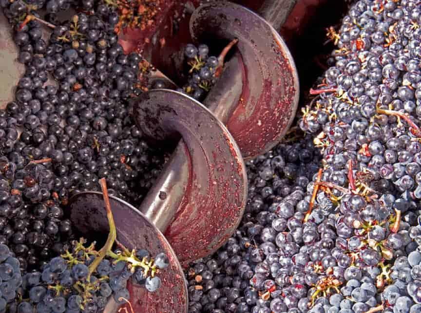 Red wine grape crushing