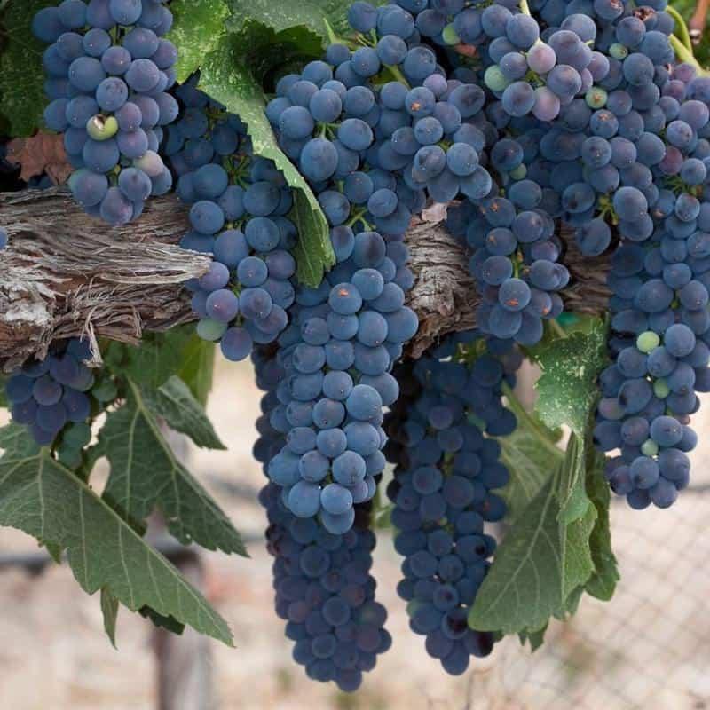 Syrah (Shiraz) Grapes