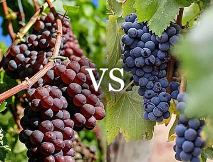 Table grape vs Wine grape