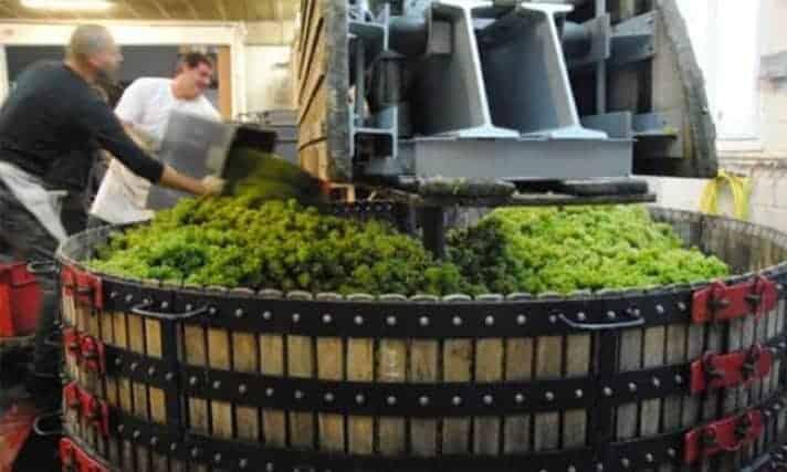 White wine grape crushing