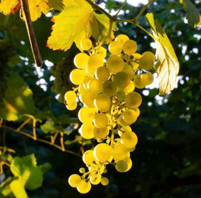 semillon grapes 1