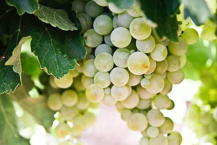 dry white wine grapes